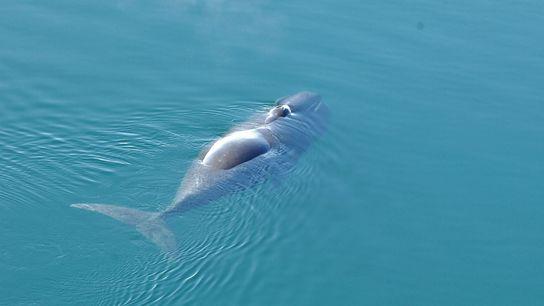 baleia-da-Gronelândia nada nas proximidades de Spitsbergen