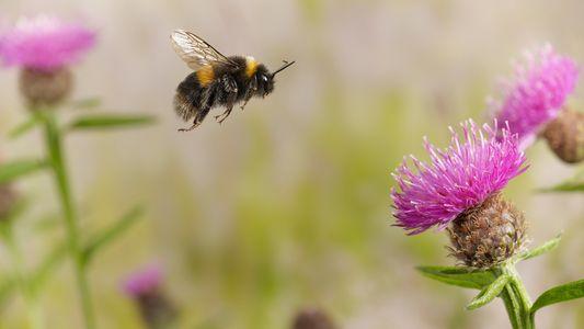 Zangões Mordem Plantas Para Que Floresçam Mais Cedo – Surpreendendo Cientistas