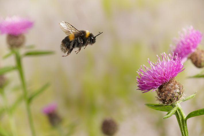 Um zangão voa entre flores em Inglaterra. Muitas espécies de zangões estão em declínio devido às ...