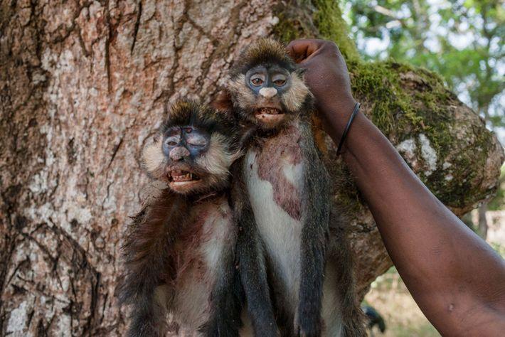 Macacos Mortos