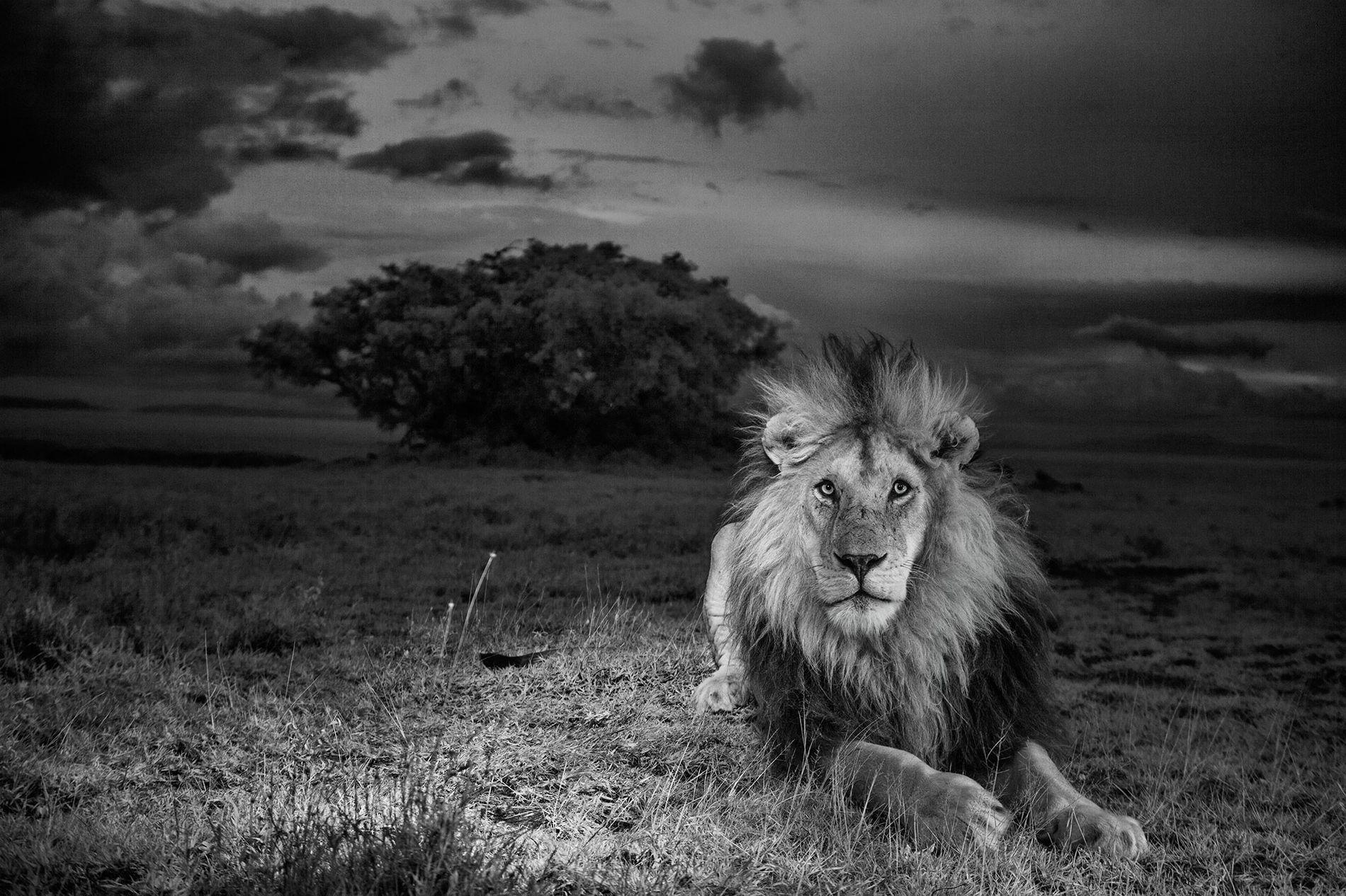 C-Boy, com a sua característica juba de pontas negras, no Parque Nacional do Serengueti, na Tanzânia.