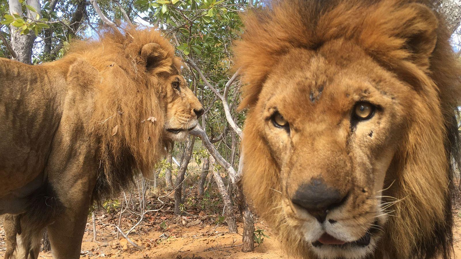 leões de circo resgatados José e Liso