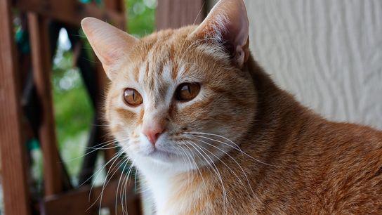 Os gatos associam os seus nomes a recompensas, como comida ou carinhos.