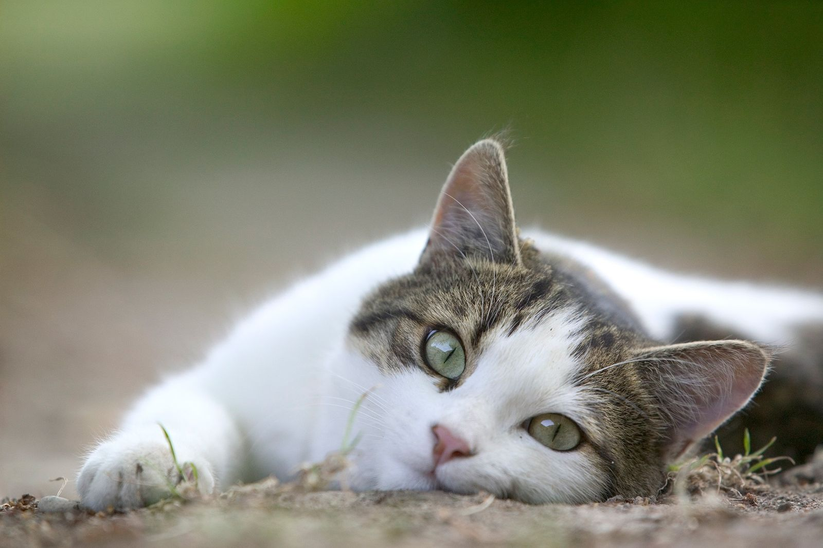 Os Gatos Não Gostam de Festas na Barriga – Porquê?