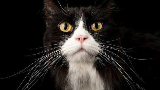 Eis o Que a Cauda do Seu Gato lhe Está a Dizer