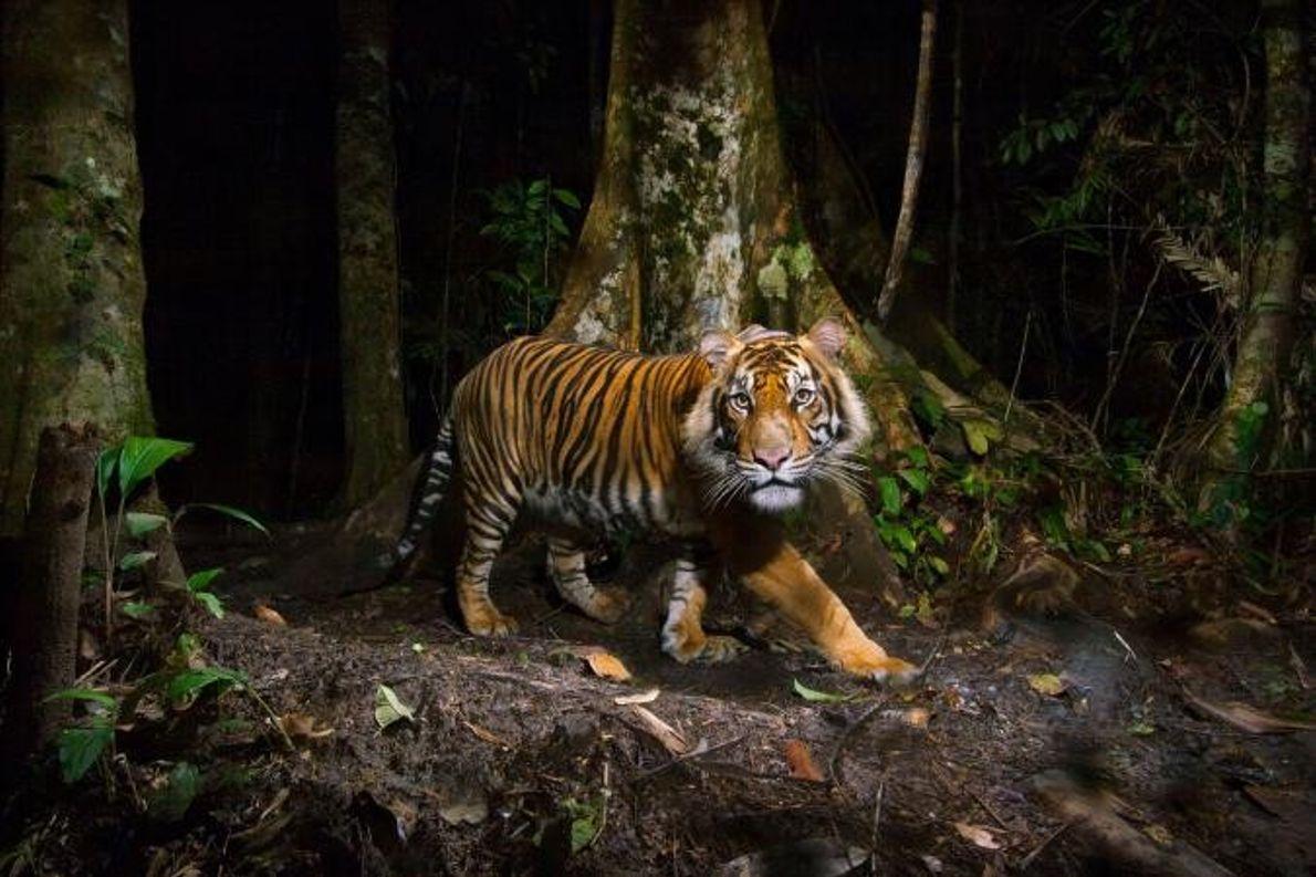 O tigre-da-Sumatra.