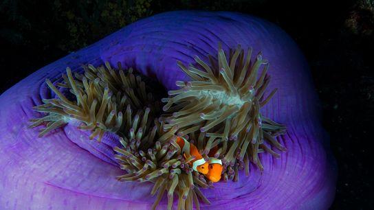 Dois peixes-palhaço aninhados na sua anémona hospedeira, nas Filipinas.
