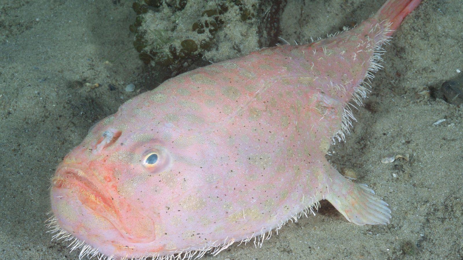 O Chaunax endeavouri é uma das mais de 20 espécies de peixe-caixão. Este animal têm barbatanas ...