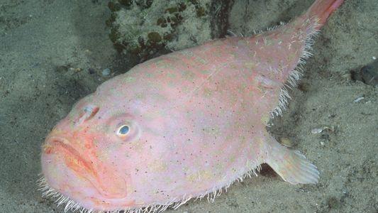 Peixe Estranho de Alto Mar Consegue Suster a Respiração Durante 4 Minutos