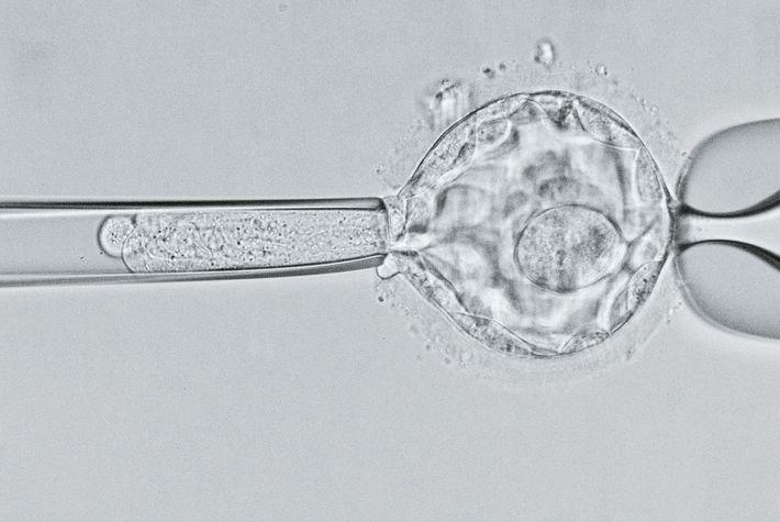 Imagem de microscópio, embrião blastocisto