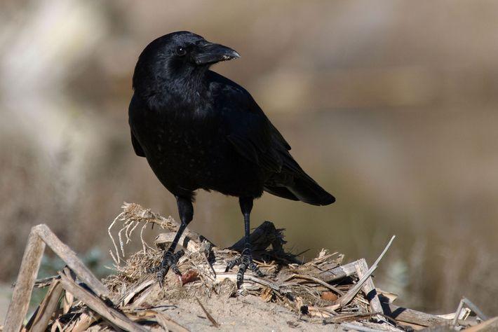 O corvo-americano (Corvus brachyrhynchos) tornou-se numa visão comum em áreas urbanas e suburbanas da América do ...