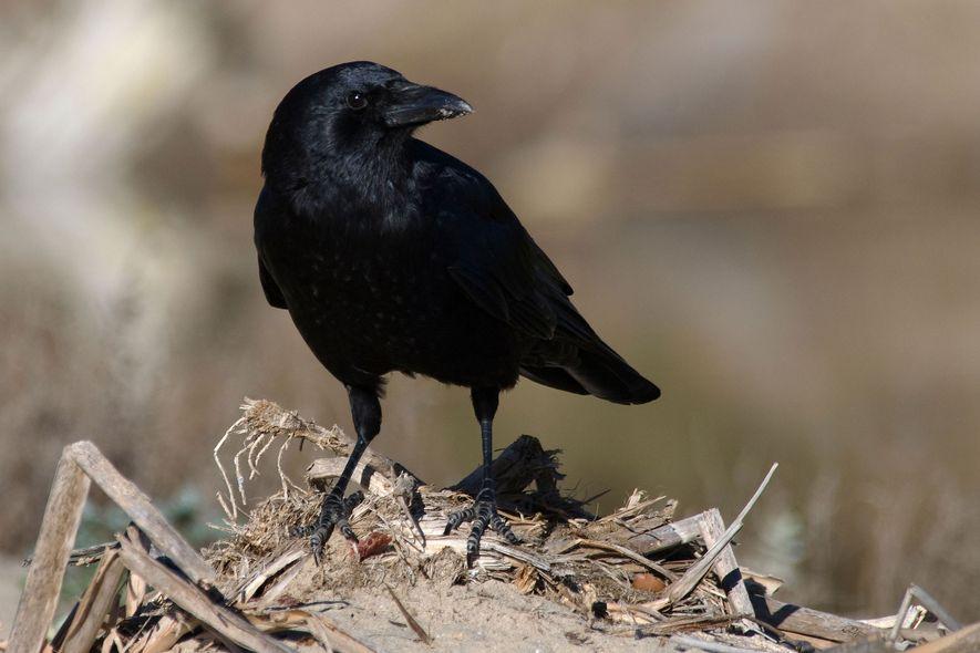 O corvo-americano (Corvus brachyrhynchos) tornou-se numa visão comum em áreas urbanas e suburbanas da América do Norte. E come quase tudo – desde insetos e sementes a lixo e até carne em decomposição.