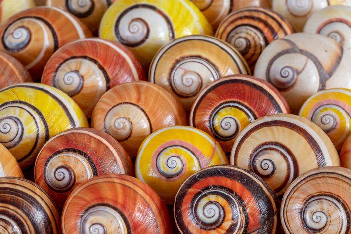 Uma coleção de caracóis pintados cubanos (Polymita picta) adiciona cores vibrantes ao laboratório do biólogo Bernado ...