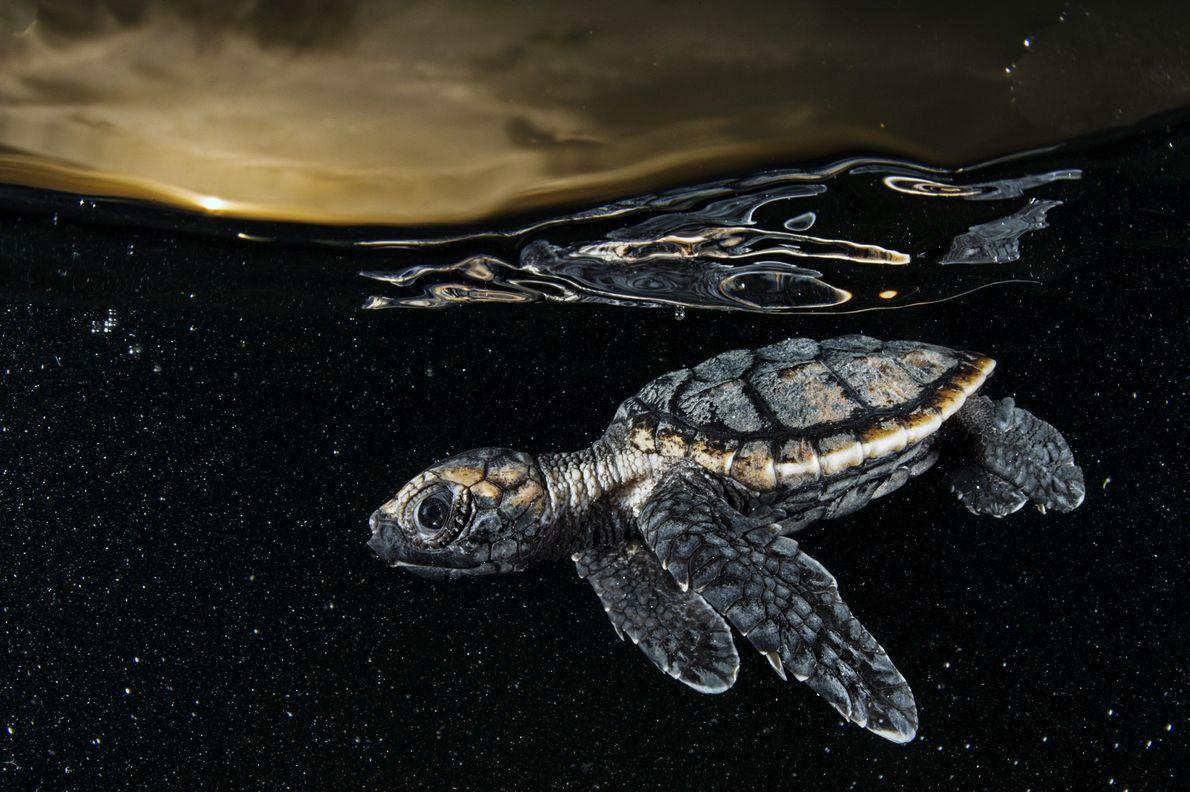 Uma tartaruga-de-pente gravemente ameaçada nada para longe da costa.