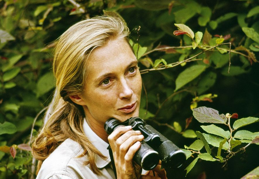 Jane Goodall protagoniza um episódio especial Miss Goodall and The World of Chimpanzees, emitido, inicialmente, pela ...