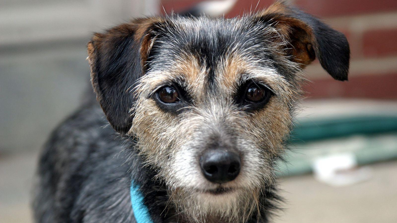 Os cães domésticos têm características físicas e doenças semelhantes às dos humanos, sobretudo doenças oncológicas.