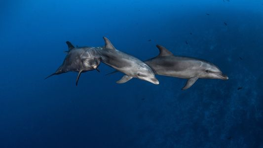 Descubra Como os Golfinhos Aprendem a Usar Ferramentas