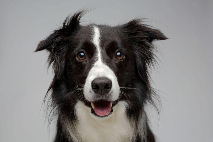 Um cão da raça border collie