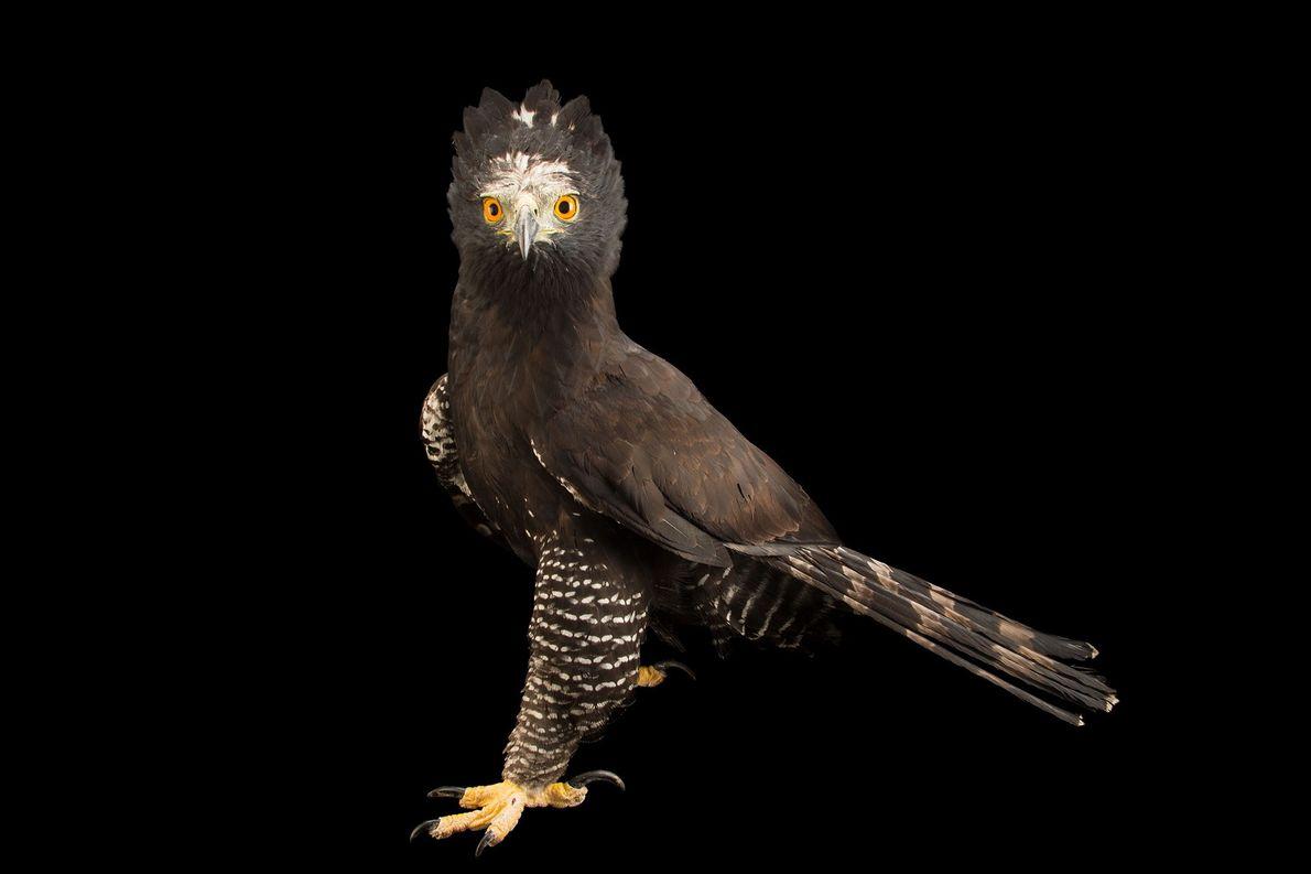 Espécies de águias - Um gavião-pega-macaco