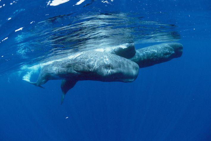 Os cachalotes são conhecidos por mergulharem até aos 1.000 metros de profundidade – à procura de ...