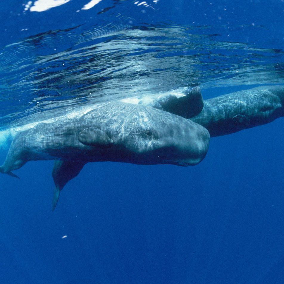 Inédito: Sismos Podem Dificultar Alimentação de Baleias