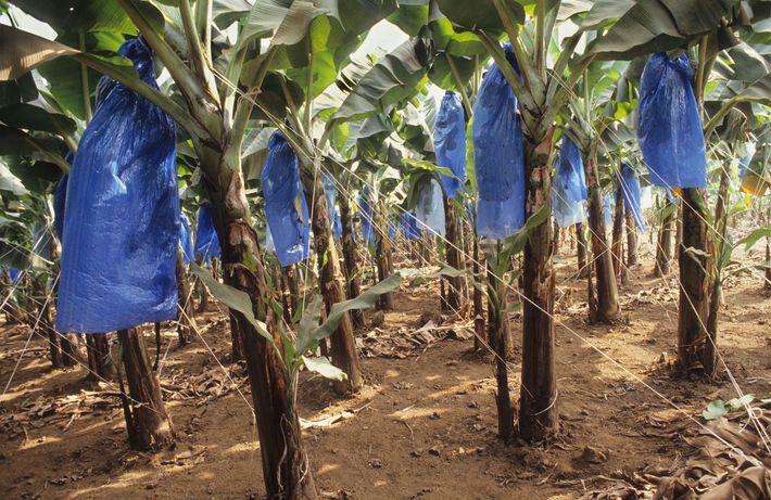 Plantação de Banana, Camarões.