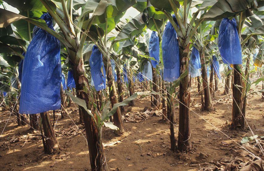 O plástico é usado em todos os processos da produção alimentar. Nesta imagem, bananas em crescimento, ...
