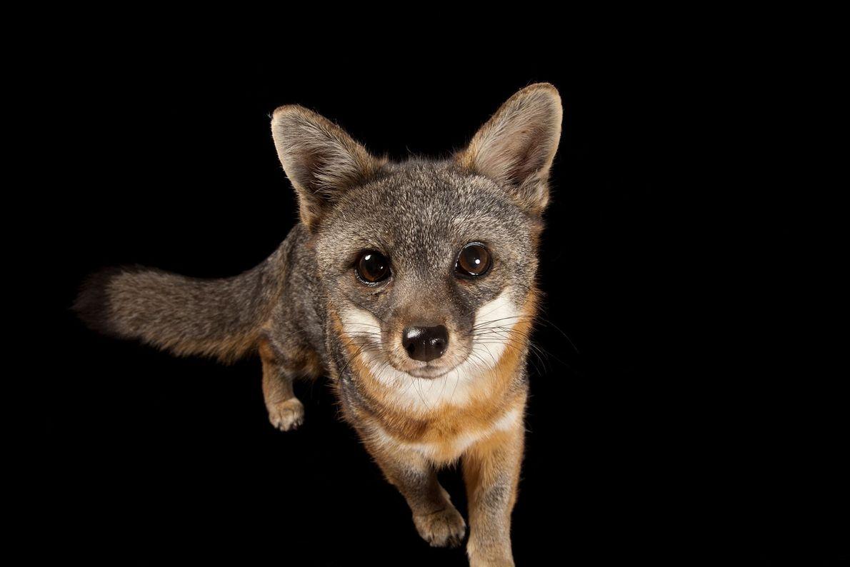 raposa-das-ilhas (Urocyon littoralis catalinae), na Catalina Island Conservancy.