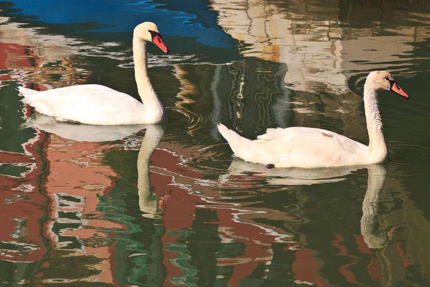 Os cisnes são visitantes habituais dos canais de Burano.