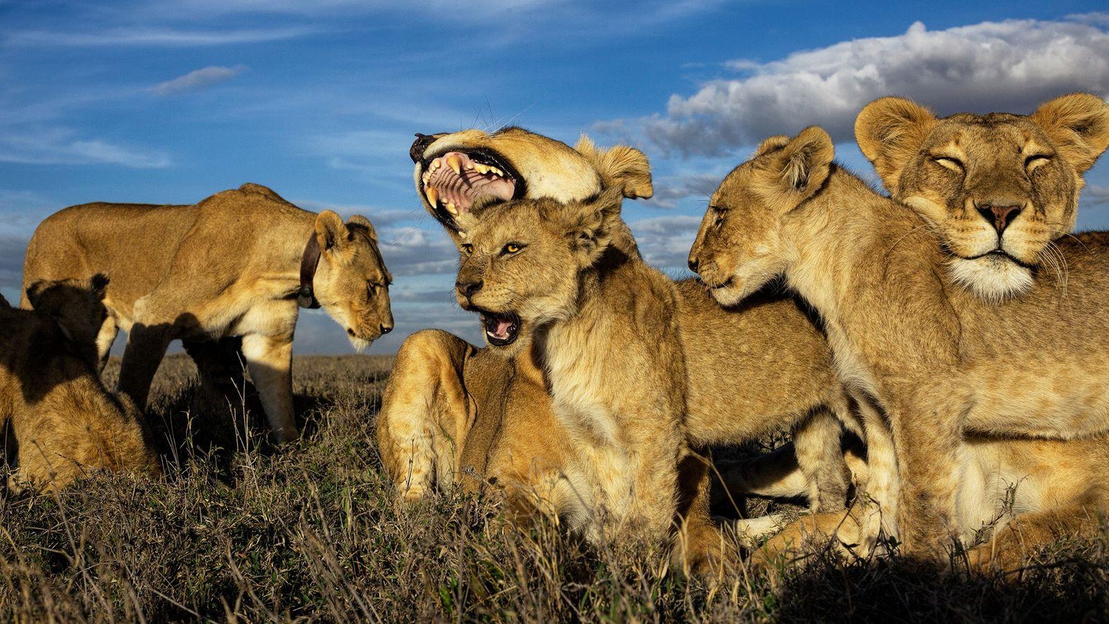 Os leões são os únicos felinos que vivem em grupos dominados por fêmeas. As crias mais ...