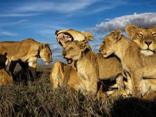 Na Vida Real, a Mãe de Simba Seria a Líder do Grupo