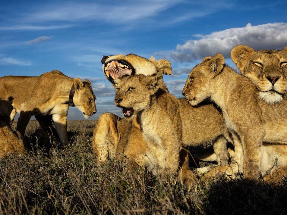 O Leão: o Rei dos Felinos Africanos em Fotografias