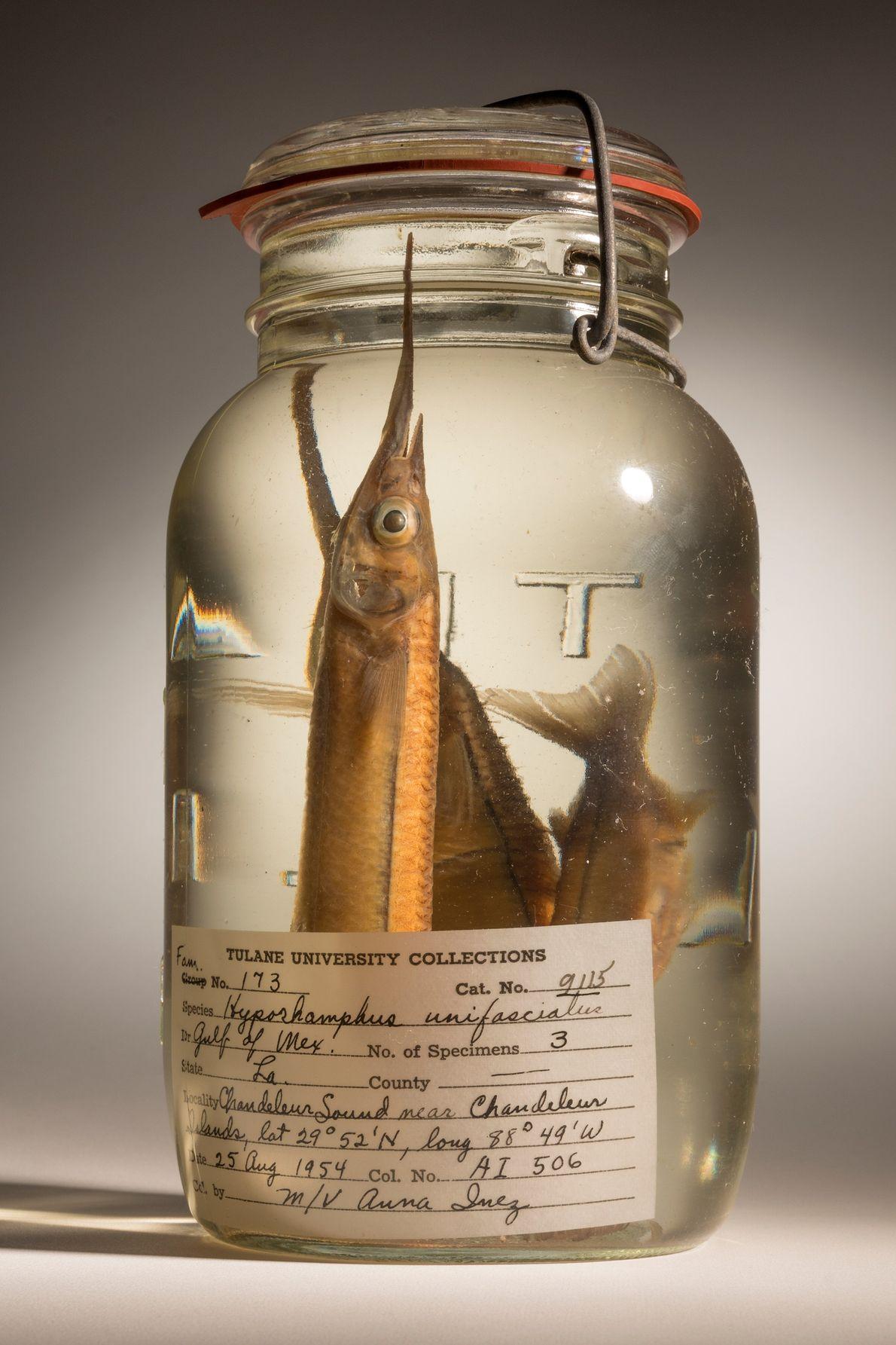 Hyporhamphus unifasciatus