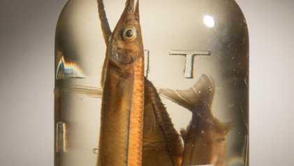 Peixes Surreais Preservados Contam Uma História Urgente de Extinção