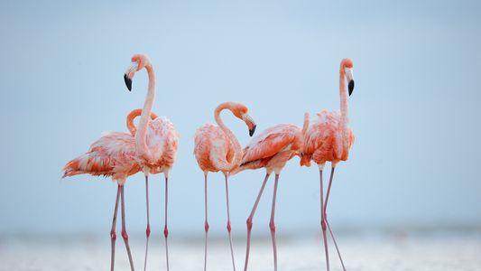 Os Flamingos Fazem Amizades Para a Vida – Como os Humanos