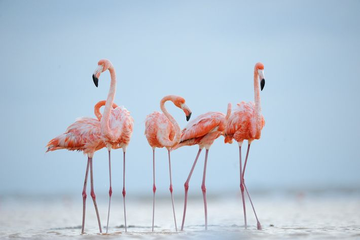 Flamingos-americanos limpam as suas penas à luz do crepúsculo. Os flamingos podem viver até aos 50 ...