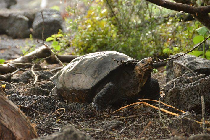 A última confirmação da existência da tartaruga-gigante da Fernandina foi em 1906.