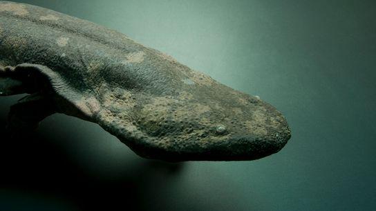 Uma salamandra-gigante-da-china (Andrias davidianus), animal que se encontra em perigo crítico de extinção, no Jardim Zoológico ...