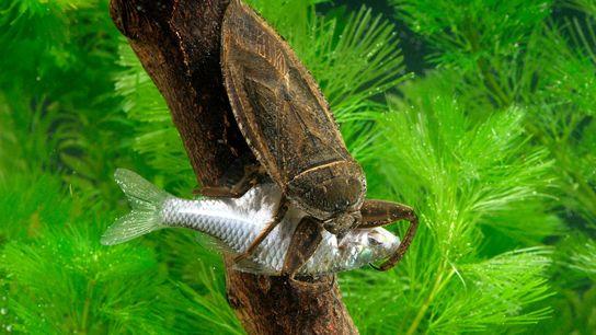Um inseto de água gigante, Lethocerus deyrollei, ataca um peixe em Saitama, no Japão.