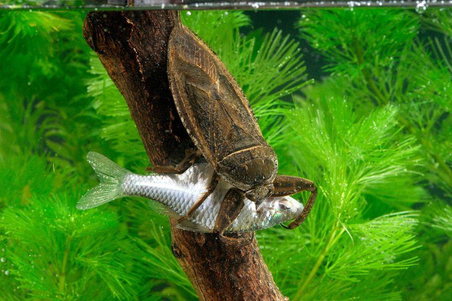 Insetos Gigantes Alimentam-se de Tartarugas, Patos e Cobras