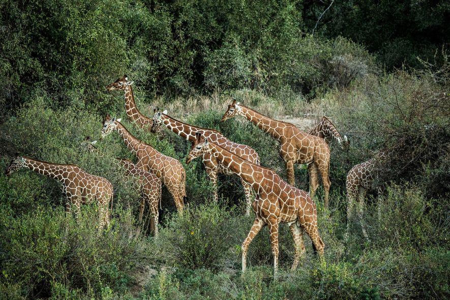 Um grupo de girafas reticuladas vagueia no parque de conservação de Namunyak Conservancy.