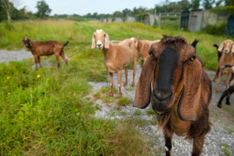 As cabras são animais sociais e inteligentes. Um novo estudo revela que as cabras conseguem distinguir ...