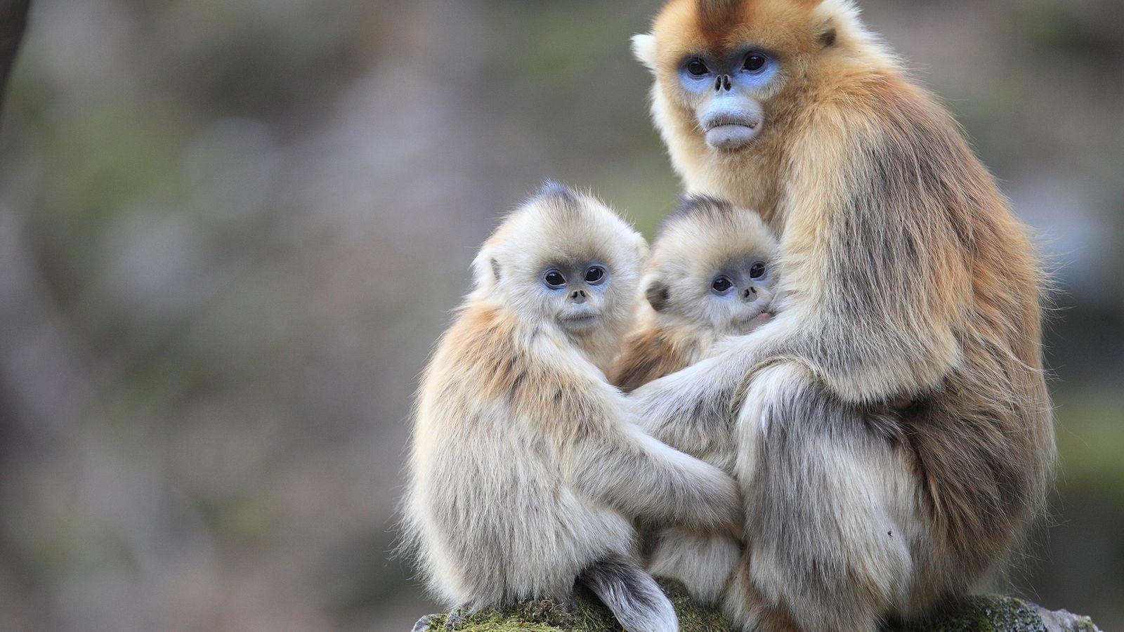 macacos-dourados