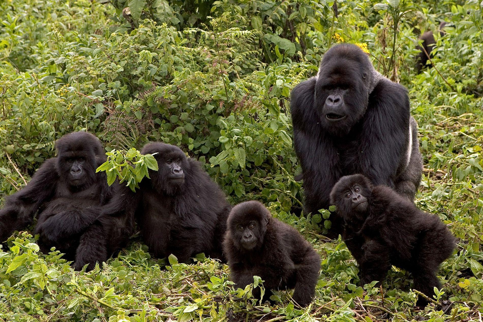 O grupo de gorilas-das-montanhas Susa, no Parque Nacional dos Vulcões, no Ruanda, foi o tema de ...