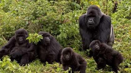 Amigo ou Inimigo, os Gorilas Cuidam dos Mortos