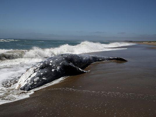 Tempestades Solares Podem Afetar Navegação das Baleias