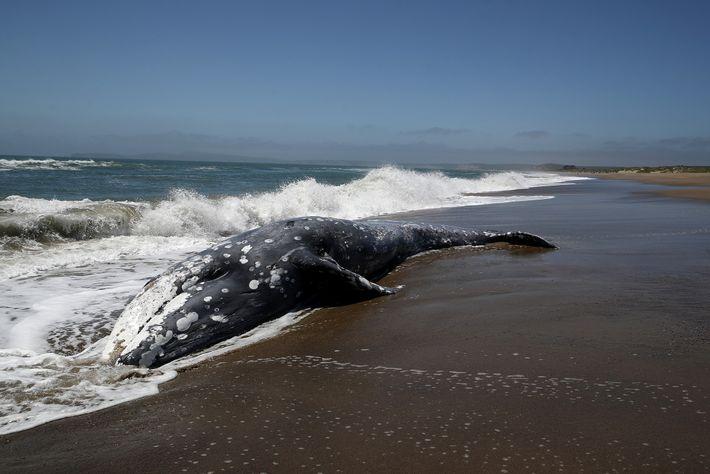 Uma baleia-cinzenta encalhada em Point Reyes Station, na Califórnia. Novas investigações sugerem que as tempestades solares ...
