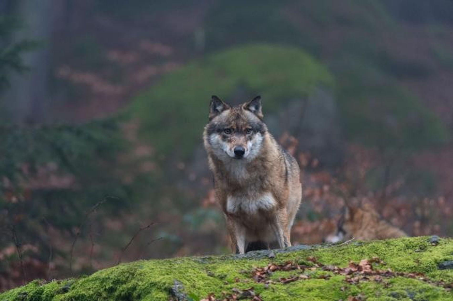 Um lobo.