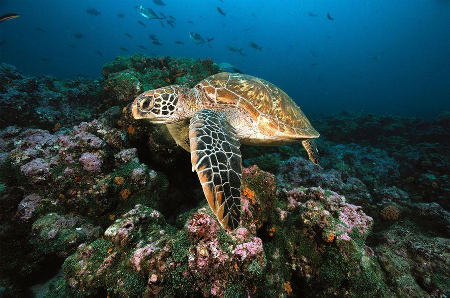 Tartarugas-verdes