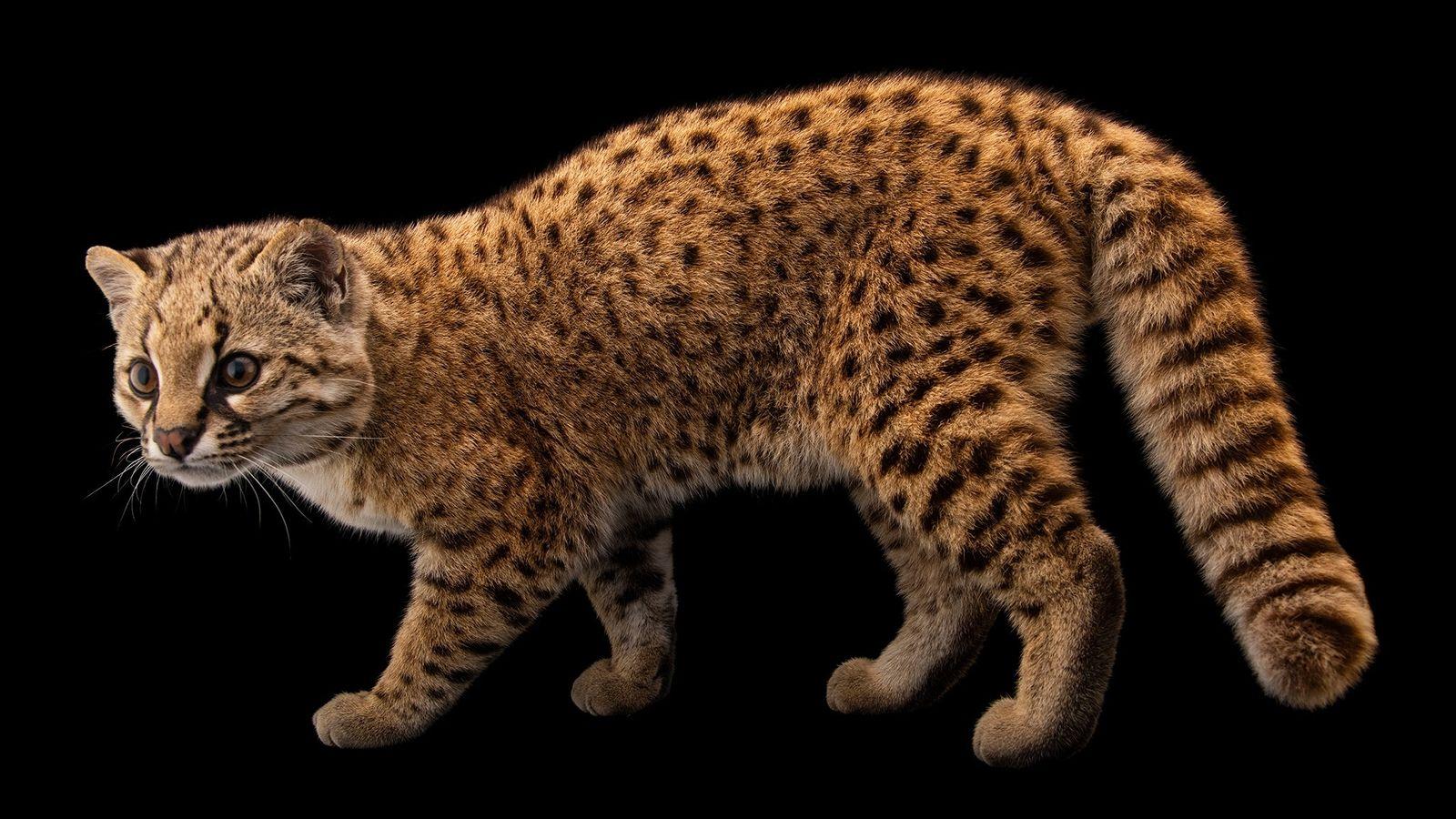 Pikumche é um gato-chileno macho do norte que ficou órfão e foi criado por pessoas. Ele ...